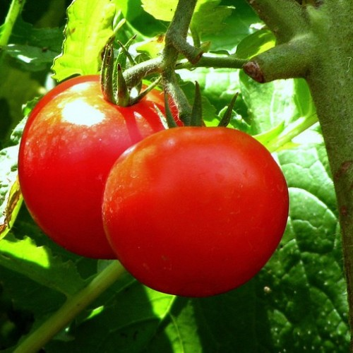 Growing Tomatoes in Kansas Led to SWAT Raid – Judge Says Gardeners Can Sue