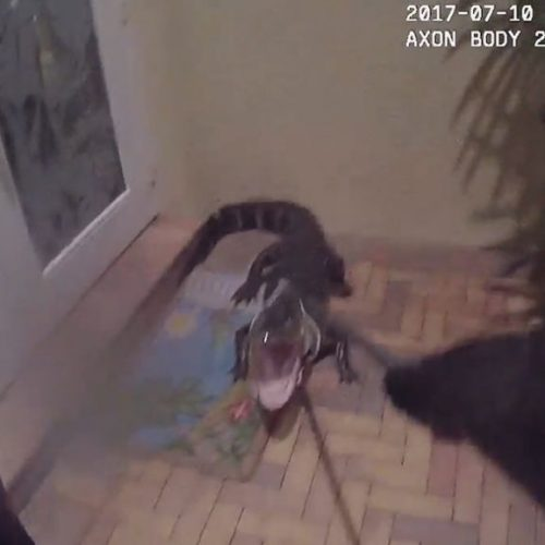 WATCH: Florida Cop Grapples With 6-Foot Gator on Front Porch of Boynton Home