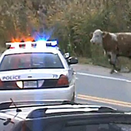 WATCH: Police Shoot Cow 10 Times in Québec Claim it Was a Threat to Residents